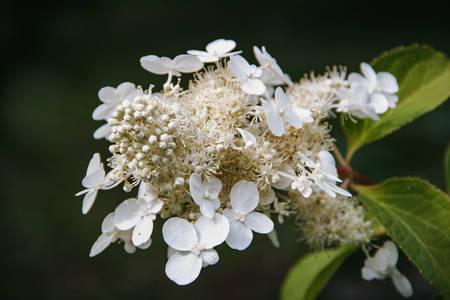 In the garden. Close-up photo of flowering Hydrangea arborescens Stock Photo - 131444705
