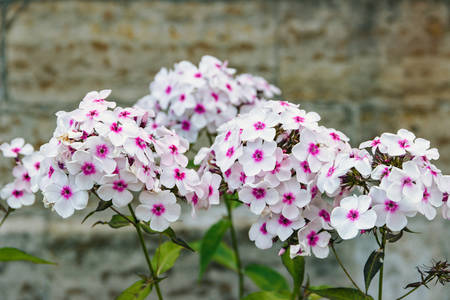 Horizontal image of colorful Phlox paniculata in the garden