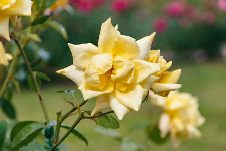 Flora. Close-up of amazing yellow rose in the garden Stock Photo