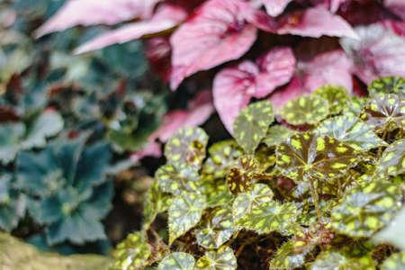 Mix of begonias cultivars in botanical garden, close-up