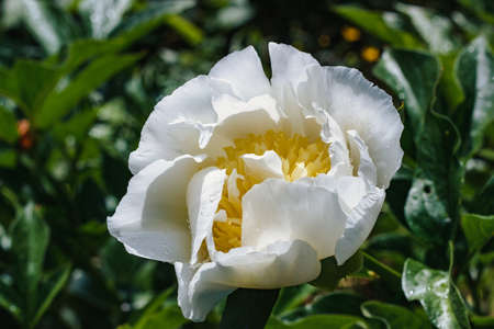 Peony flower with water droplets growing in park, close-up Stock Photo