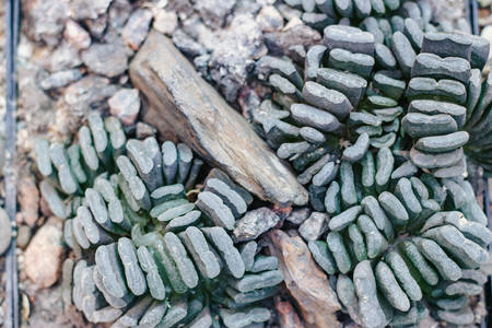 Top view of Haworthia truncata in botanical garden, close-up Stock Photo