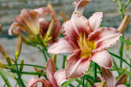Flowers. Photo of daylilies bloom in the park, close-up Stock Photo