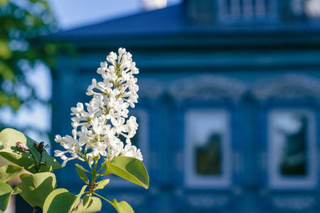 White lilac blossoms on background of blue house, close-up Stock Photo