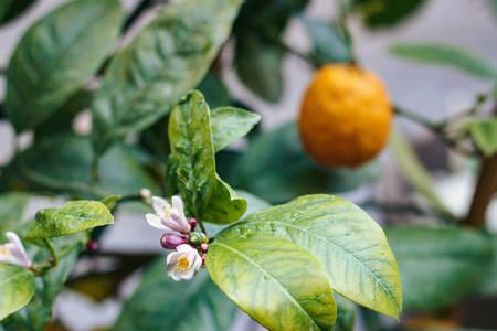 Horizontal photo of Tangerine tree blooms in the garden