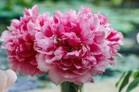 Bouquet of beautiful pink peonies in vase, close-up Stock Photo