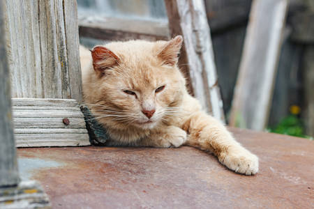Old red cat resting and posing on camera, close-up Stock Photo