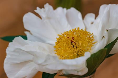 Flowers. Image of beautiful white peony, close-up Stock Photo