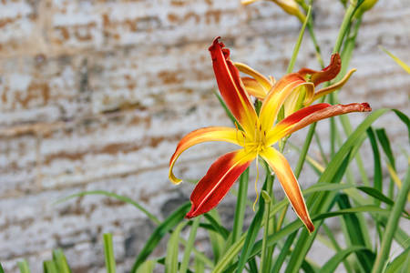 Nature. Image of lily bloom in park, close-up