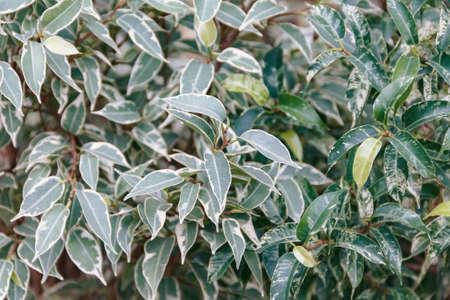Flora. Photo of Ficus benjamina foliage, close-up Stock Photo