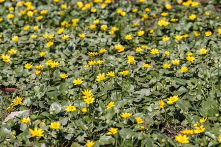 Flora. Photo of Ficaria verna blooms