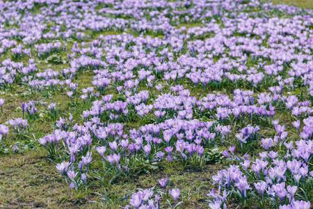 Photo of crocuses bloom in park
