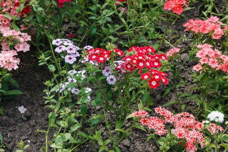 Summer. Horizontal photo of varietal carnations, close-up