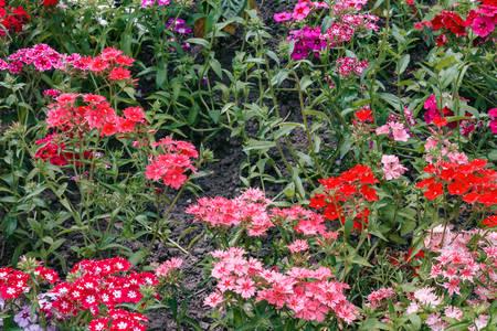 Flowers. Horizontal image of varietal carnations, close-up