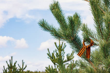 May 9th concept. Photo of St. George ribbon on spruce, close-up