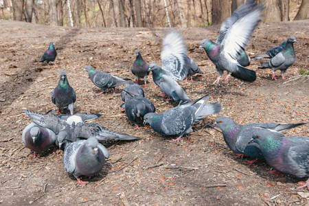 Fauna. Flock of pigeons eating in the park