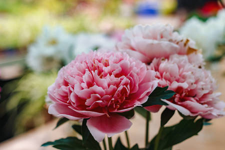 Flowers. Photo of beautiful pink peonies at the exhibition Stock Photo - 144906485