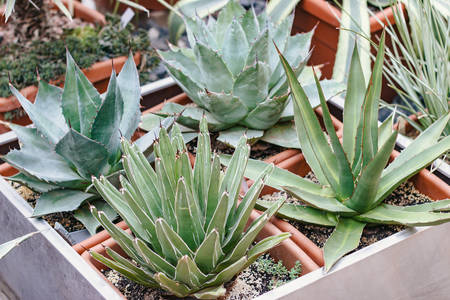 Flowers. Photo of Agave set in greenhouse