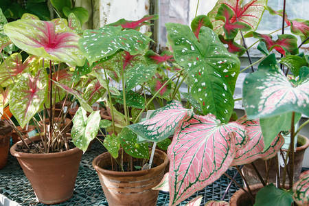 Flowers. Collection of Caladium varieties in the greenhouse