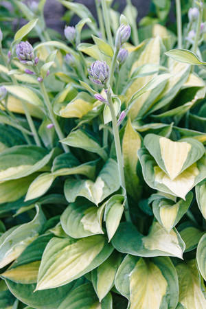 Vertical photo of Hosta blooms in the garden, close-up
