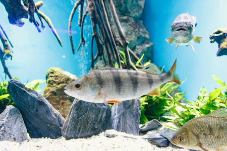 Animals. Beautiful fishes in aquarium, close-up