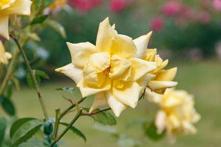 Beautiful varietal rose of yellow color, close-up