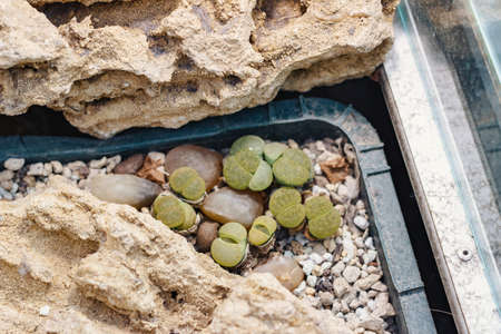 Photo of lithops grow in greenhouse, close-up