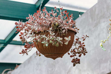 Horizontal photo of potted Kalanchoe Millotii in greenhouse Stock Photo