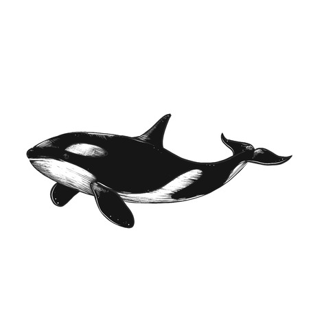 Hand drawn vector killer whale. Sketch engraving illustration. Isolated