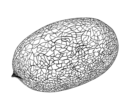Honeydew melon. Whole fresh ripe sweet fruit. Melon realistic fruits, isolated on white background. EPS10 vector illustration.