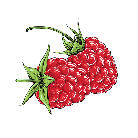Hand drawn sketch of raspberry in color, isolated on white background. Detailed vintage style drawing, for posters, decoration and print. Vector illustration.