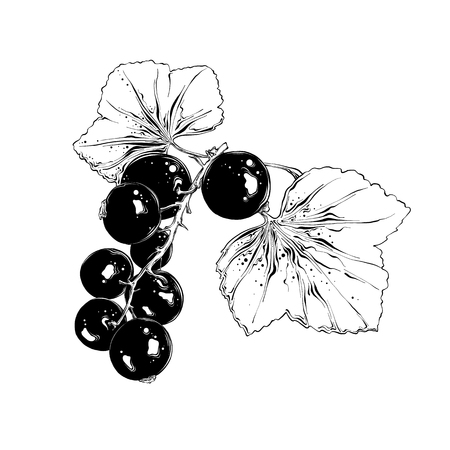 Hand drawn sketch of currant in black. Isolated on white background. Drawing for posters, decoration and print. Vector illustration.