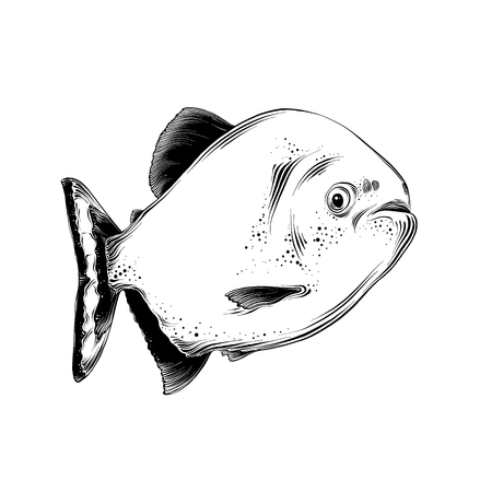 Vector drawing of fish in black color, isolated on white background. Graphic illustration, hand drawing. Drawing for posters, decoration and print. Vector illustration