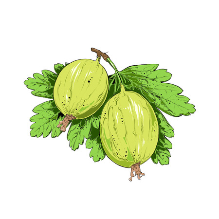 Hand drawn sketch of gooseberry in color. Isolated on white background. Drawing for posters, decoration and print. Vector illustration