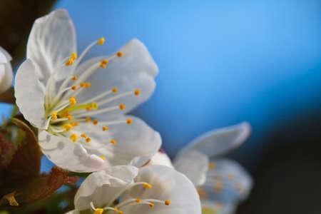 frhling: Makroaufnahme einer Kirschblüte im Frühling Stock Photo