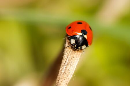 ladybeetle: Picture of a Ladybeetle, taken in June 2012 Stock Photo