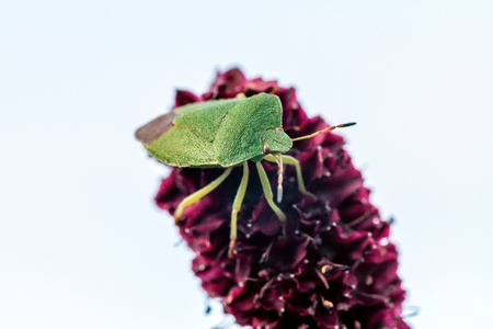 green shield bug: Picture of a green shield bug