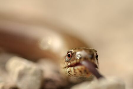 slow worm: Picture of a slow worm