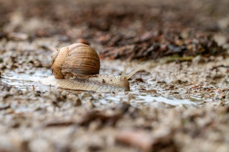 edible snail: Snail on a wet country road Stock Photo