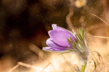 pasqueflower: Lovely Picture of a Beautiful violet Pasqueflower  Pulsatilla vulgaris  in front of a shimmering background, rare bavarian wildlife flower, shot on an early spring evening in Bavaria, Germany