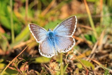 gossamer: Blue Gossamer Winged Butterfly Stock Photo