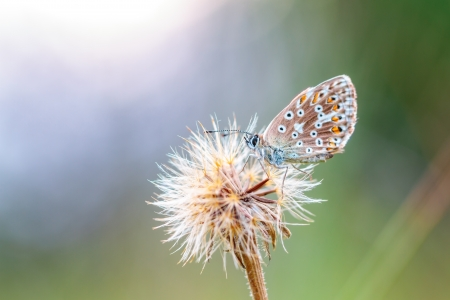 gossamer: In the time of the Butterflies  Blue Gossamer Winged Butterfly Stock Photo