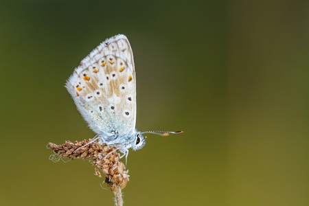 lycaenidae: In the time of the Butterflies  Blue Gossamer Winged Butterfly Stock Photo