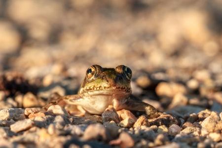 the frog prince: Il principe ranocchio Close Up Immagine di una piccola rana sulla strada in una mattina calda estate in Baviera