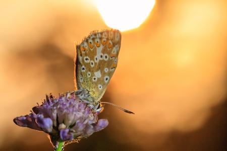 gossamer: Morning Kiss of the Butterfly  Blue Gossamer Winged Butterfly in the morning Sun