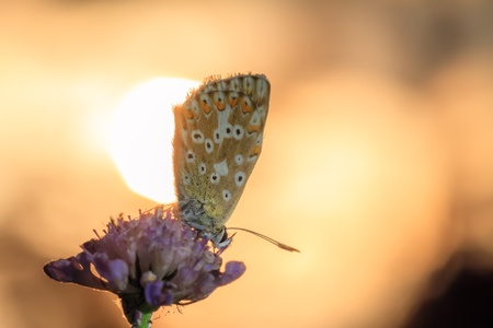 Morning Kiss of the Butterfly  Blue Gossamer Winged Butterfly in the morning Sun  photo