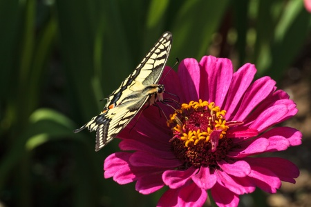 Papilio machaon  Rare large wildlife butterfly Papilio machaon on a flower in high summer Germany in August photo