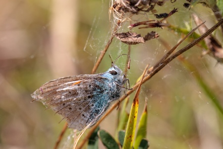 gossamer: Gossamer Winged Butterfly caught in a spider web