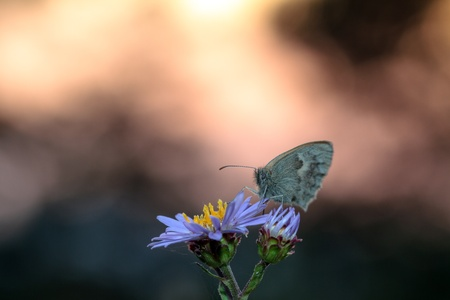Gossamer Winged Butterfly in the seting sun photo
