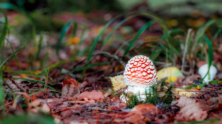 a fly agaric: Beautiful but Deadly  Picture of a poisonous fly agaric in a forest in Bavaria Stock Photo